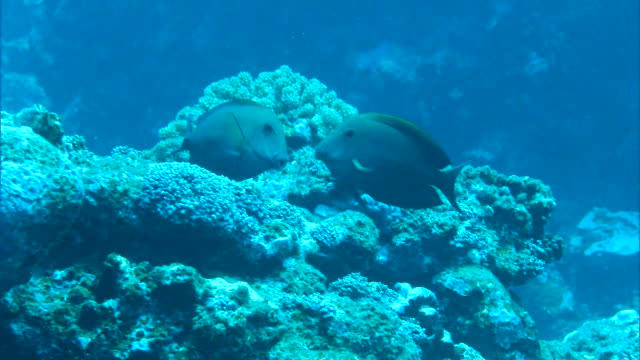 Underwater shot; Dark-colored male and female fish