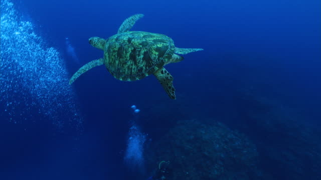 underwater shot; diver near a green sea turtle (chelonia mydas) - turtle shell stock videos & royalty-free footage