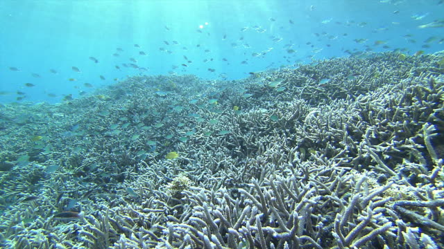 Underwater shot dolly of coral reefs and school of Green chromis