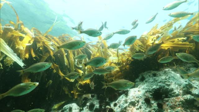 Underwater shot; Dolly shot seaweed and small fish off the Shakotan Peninsula, Hokkaido, Japan.