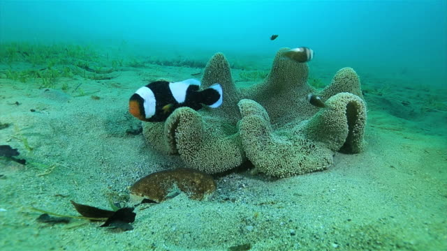 Underwater shot long shot of Saddleback clownfish fanning eggs