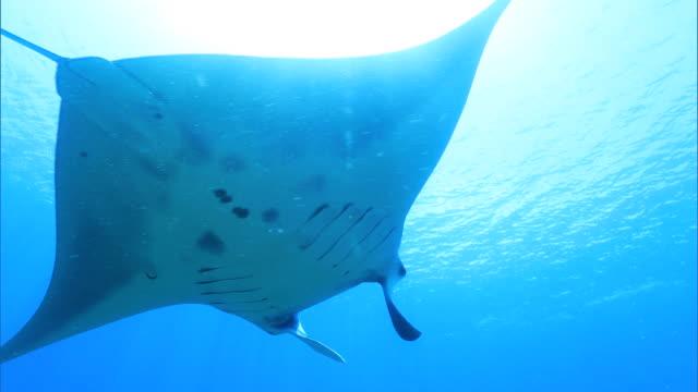 Underwater shot; Manta ray (Manta alfredi)