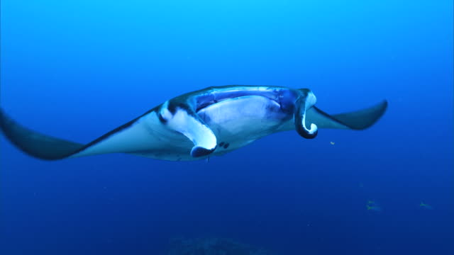 stockvideo's en b-roll-footage met underwater shot; manta ray (manta alfredi) - zeedieren
