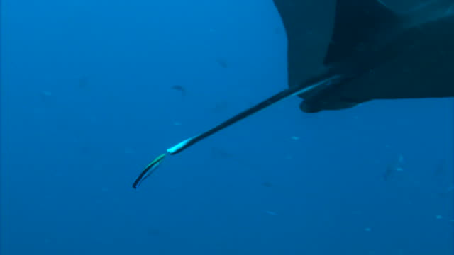 underwater shot; manta ray (manta alfredi) - tail wing stock videos and b-roll footage