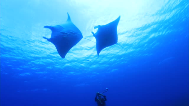 underwater shot; manta ray (manta alfredi) - aqualung diving equipment stock videos & royalty-free footage