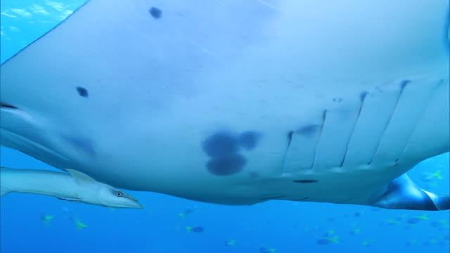 vídeos de stock, filmes e b-roll de underwater shot; manta ray (manta alfredi) - ponto de vista de mergulhador