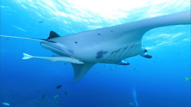 underwater shot; manta ray (manta alfredi) - manta ray stock videos & royalty-free footage