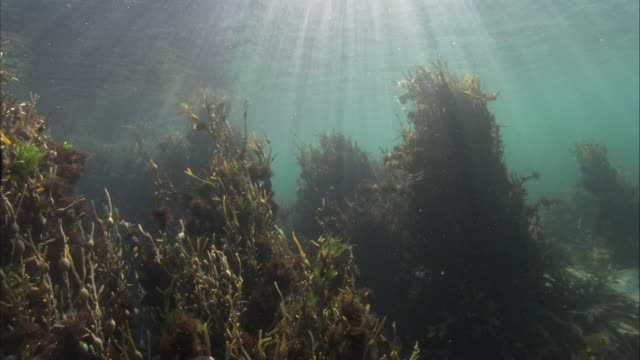 Underwater shot moving camera, bladderwrack seaweed, Fucus vesiculosus. Light shining from above