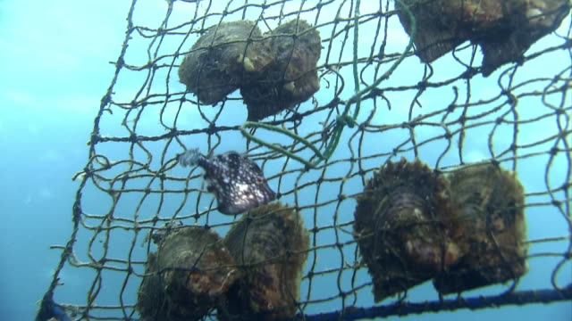 stockvideo's en b-roll-footage met underwater shot; network filefish pecking on akoya pearl oyster farming cages and oyster shells. - pikken