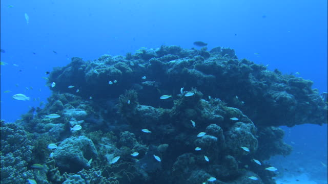 stockvideo's en b-roll-footage met underwater shot of a coral reef and numerous fish off kikai island,kagoshima,japan - polyp corals