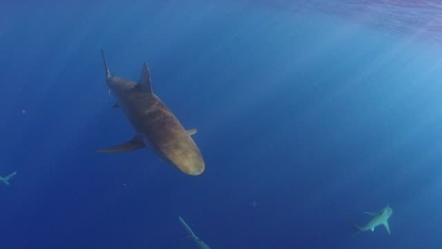 underwater shot of a galapagos shark heading right towards camera - turtle bay hawaii stock videos and b-roll footage
