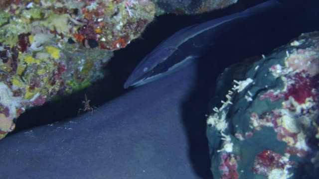 Underwater shot of a Live sharksucker which has used its sucking disc to attach itself to a Whitetip reef shark in a cleft