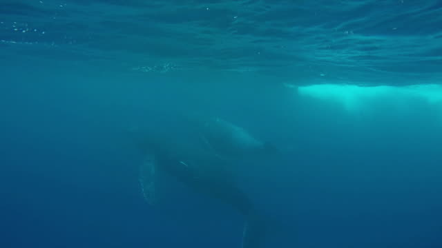 Underwater shot of a pair of Humpback whales near the surface of the water