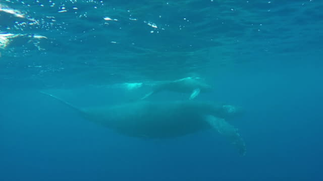 underwater shot of a pair of humpback whales swimming sidebyside in the kerama islands - side by side stock videos & royalty-free footage