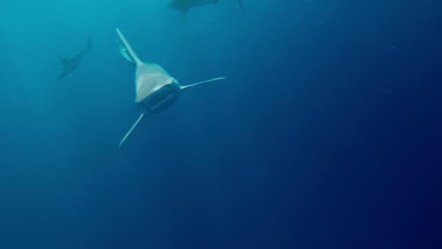 underwater shot of a school of sharks beneath a boat - タートル湾点の映像素材/bロール