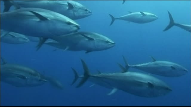 Underwater shot of an abundance of bluefin tuna swimming in a circle