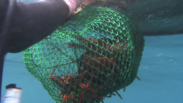 vídeos de stock e filmes b-roll de underwater shot of an ama diver shoving a japanese spiny lobster into a fishing net and tying it to a floating basket: close shot of a lot of... - organismo aquático