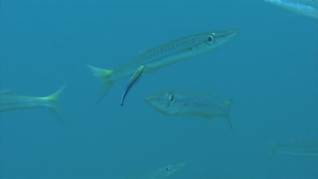 Underwater shot of Bicolor cleanerfish cleaning Yellow barracuda