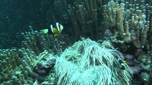 underwater shot of blue coral and clark's anemonefish . - sea anemone stock videos & royalty-free footage