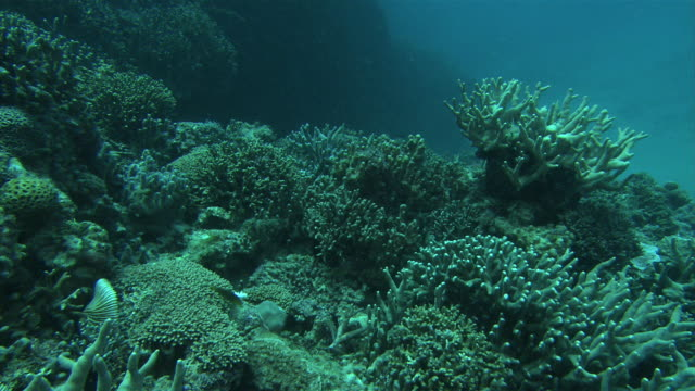 Underwater shot of Blue coral and various other corals