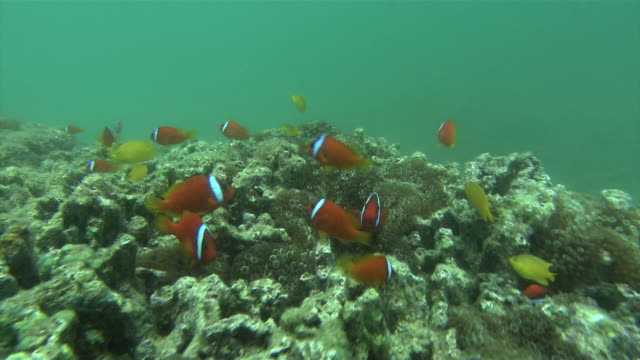 underwater shot of clark's anemonefish and oriental butterfly fish darting in and out of kumanomijo the former provided a model for clownfish... - anemonefish stock videos & royalty-free footage