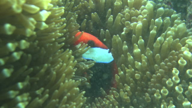 underwater shot of clark's anemonefish darting in and out of kumanomijo this species provided a model for clownfish appearing in the film finding nemo - anemonefish stock videos & royalty-free footage