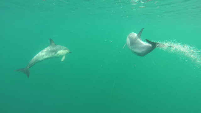 underwater shot of common dolphin pod moving at high speeds through water - dolphin stock videos & royalty-free footage