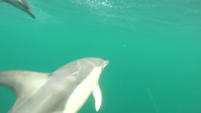 Underwater shot of common dolphin pod moving fast through water