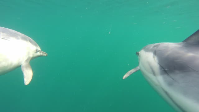 underwater shot of common dolphin pod - common dolphin stock videos & royalty-free footage