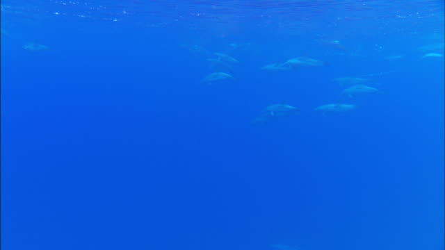 Underwater shot of common dolphins