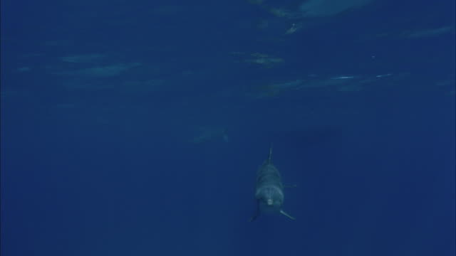 SLO MO WS Underwater shot of dolphin swimming in sea / Moorea, Tahiti, French Polynesia