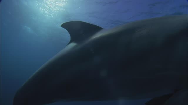 SLO MO WS PAN Underwater shot of dolphin swimming in sea near diver and boat / Moorea, Tahiti, French Polynesia