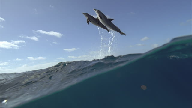 vídeos de stock e filmes b-roll de slo mo ws underwater shot of dolphins jumping out of sea / moorea, tahiti, french polynesia - subaquático