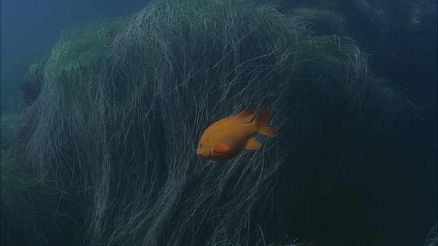 slo mo ws underwater shot of gold fish moving through sea grass / moorea, tahiti, french polynesia - sea grass plant点の映像素材/bロール
