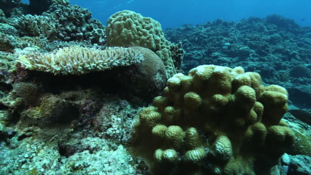 Underwater shot of greenish light bluecolored Green Chromis amid branch coral