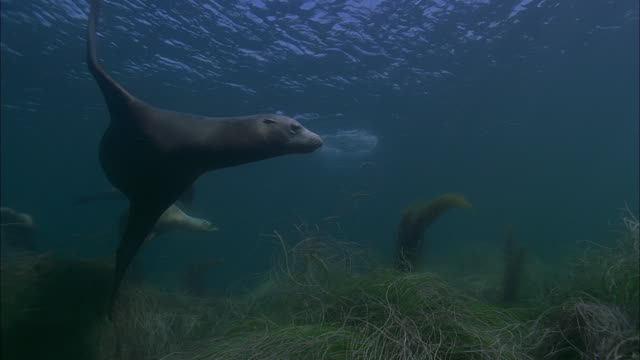 slo mo ws pan underwater shot of group of sea lions swimming in sea / moorea, tahiti, french polynesia - sea grass plant点の映像素材/bロール