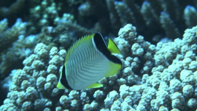 underwater shot of juvenile chevron butterflyfish - butterflyfish stock videos & royalty-free footage