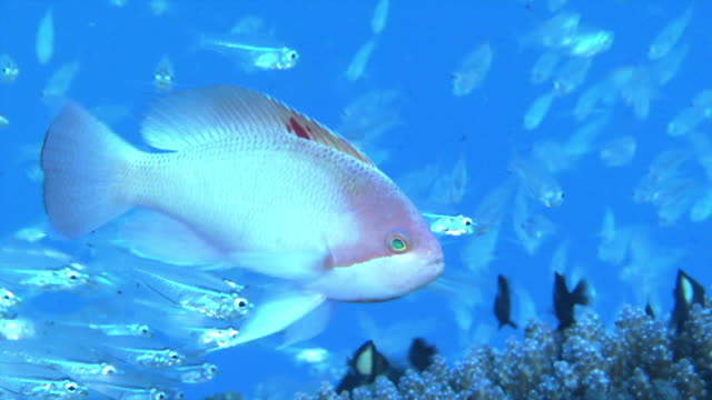 underwater shot of male stocky anthias , characterized by dark-red spot near the center of its dorsal fin. - dorsal fin stock videos & royalty-free footage