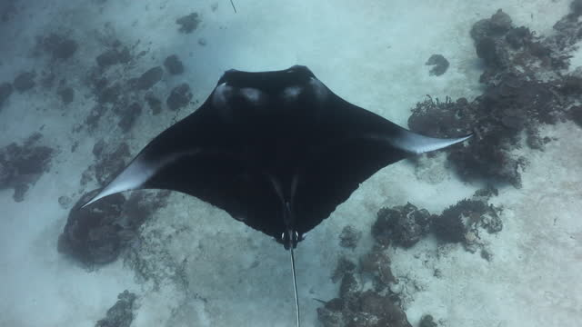 underwater shot of manta ray (manta birostris) large pelagic .swimming to cleaning station in shallow water ocean  at south maldives. manta cruising sand flat - aqualung diving equipment stock videos & royalty-free footage