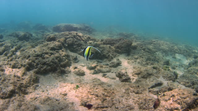 underwater shot of moorish idol swimming in ocean - turtle bay hawaii stock videos and b-roll footage