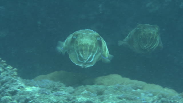underwater shot of pair (couple) of broadclub cuttlefish (sepia latimanus) . - pacific ocean stock videos & royalty-free footage