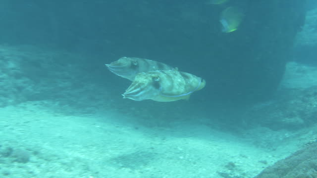 underwater shot of pair (couple) of broadclub cuttlefish (sepia latimanus). - pacific ocean stock videos & royalty-free footage