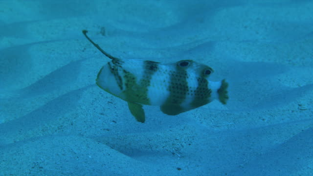 Underwater shot of Peacock wrasse extending its second dorsal spine forward