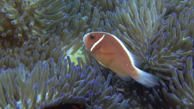 underwater shot of pink skunk clownfish amid a sea anemone. - sea anemone stock videos & royalty-free footage
