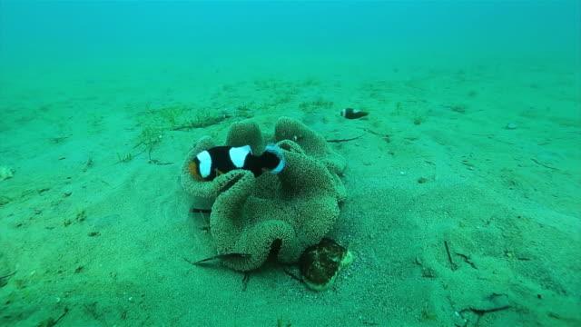 Underwater shot of Saddleback clownfish fanning eggs dolly of seafloor