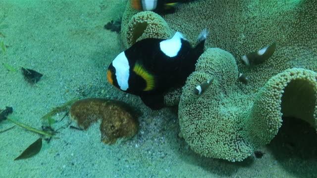 Underwater shot of Saddleback clownfish fanning eggs