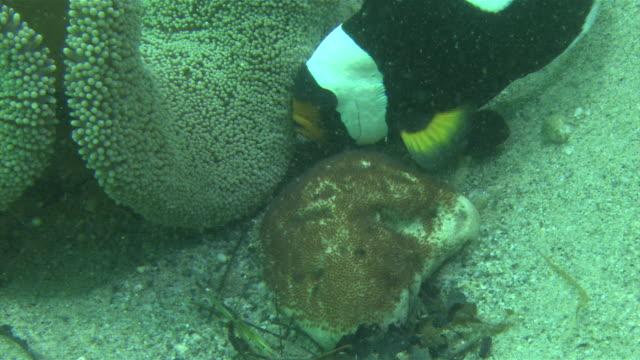 Underwater shot of Saddleback clownfish fanning eggs Zoom in of eggs