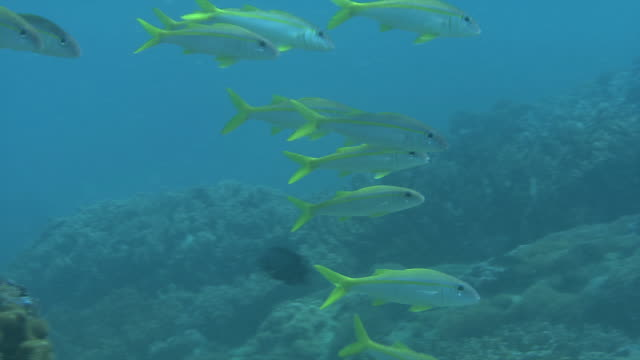 underwater shot of school of bensasi goatfish (upeneus japonicus). - goatfish stock videos & royalty-free footage