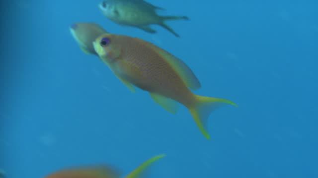 underwater shot of school of bright-orange colored sea goldies (pseudanthias squamipinnis). - goldie stock videos & royalty-free footage