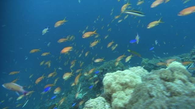 vídeos de stock, filmes e b-roll de underwater shot of school of bright-orange colored sea goldies (pseudanthias squamipinnis). - ponto de vista de mergulhador